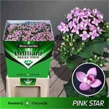 Bouvardia dbl. Diamond Pink Star