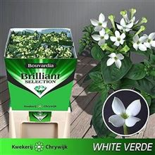 Bouvardia sgl. Royal White Verde