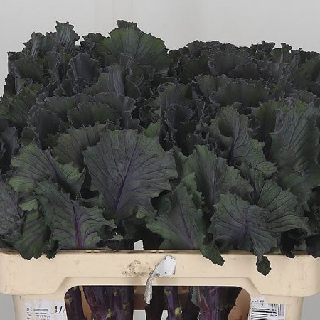 Brassica Black Leaf