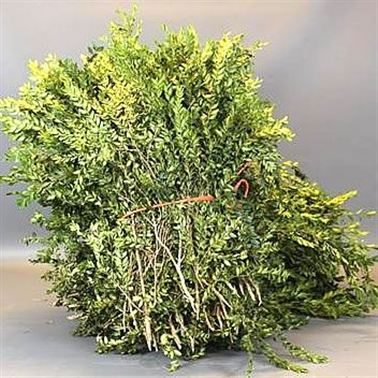 Buxus (Cut in a 5Kg Bag)