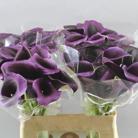 CALLA LILY  PURPLE MOON