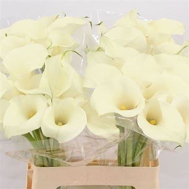 CALLA LILY WHITE IDEAL