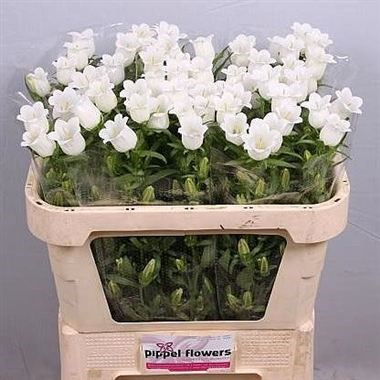 CAMPANULA MEDIUM LAMPION WHITE