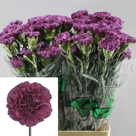 CARNATION COBALT THRILL