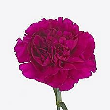 CARNATION DARK WISTA