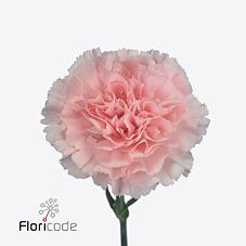 CARNATION DONCEL
