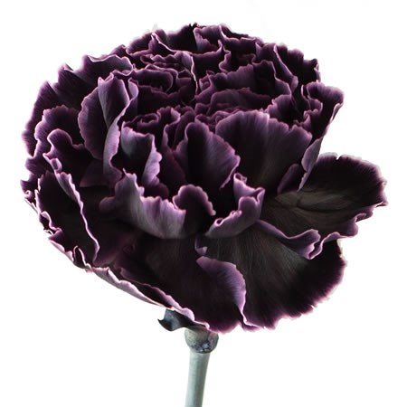 CARNATION DYED BLACK PRIDE