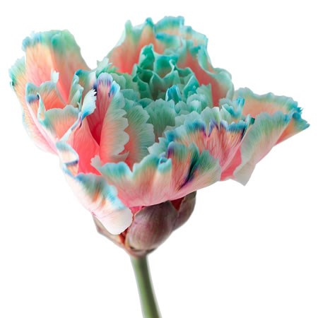 CARNATION DYED BUBBLICIOUS