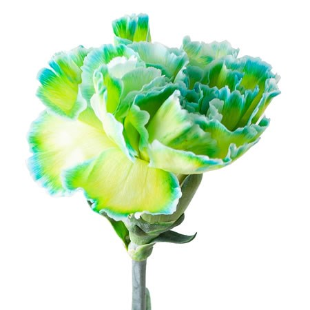 CARNATION DYED DOUBLLE MINT