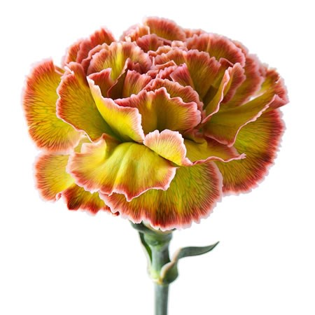 CARNATION DYED HORTENSIA
