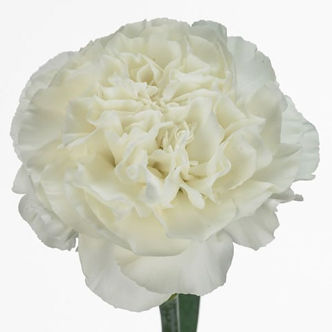 CARNATION EVEREST