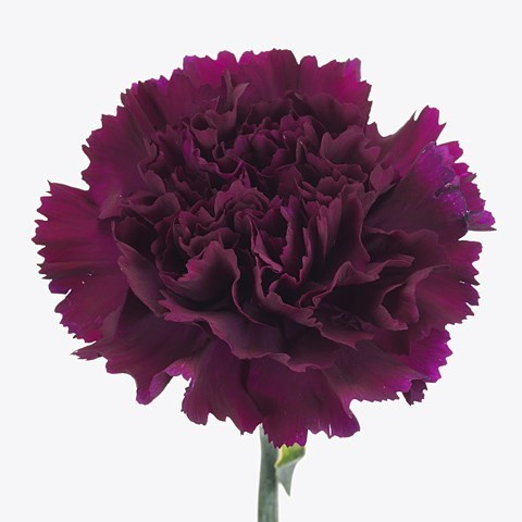 CARNATION FLORIGENE MOONTEA