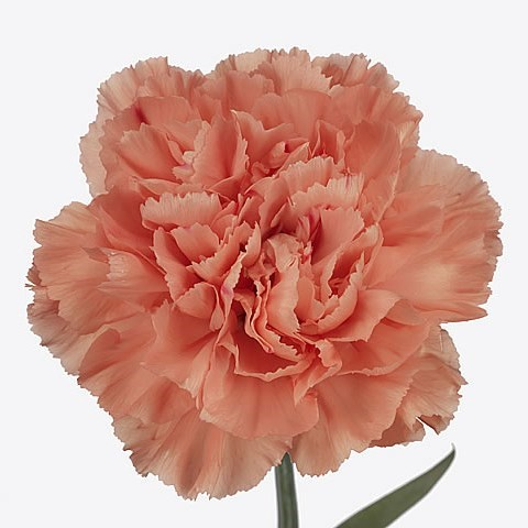 CARNATION HERMES ORANGE
