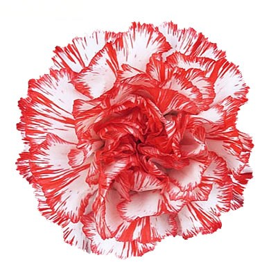 CARNATION HIKRAN