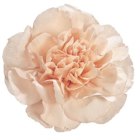 CARNATION LIZZY