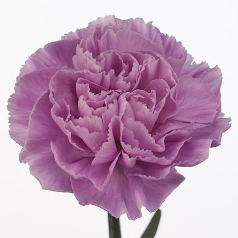CARNATION MOONAQUA