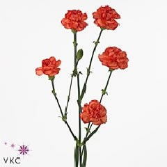 CARNATION SPR. GUADALOUPE SELECT