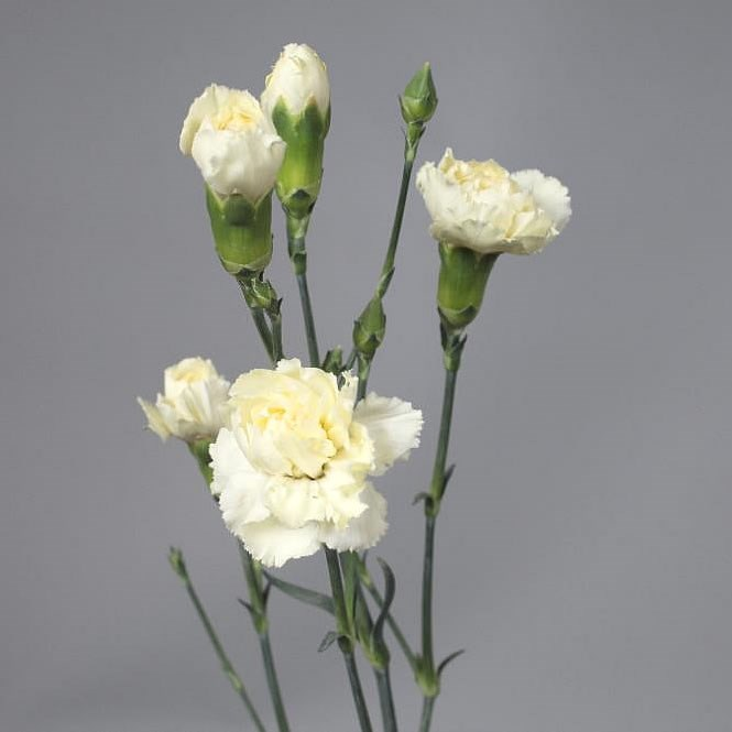CARNATION SPR. TAYRONA CREAM