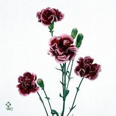 CARNATION SPR. BERRY