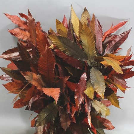 CASTANEA AUTUMN PRESERVED