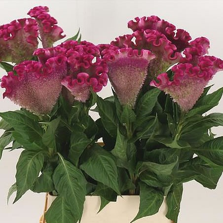 CELOSIA LIL-PINK