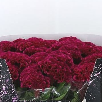 CELOSIA WICKED