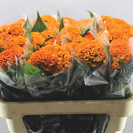 CELOSIA REPRISE ORANGE