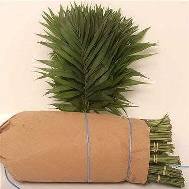 CHICO PALM SMALL (ROLL PACKED)