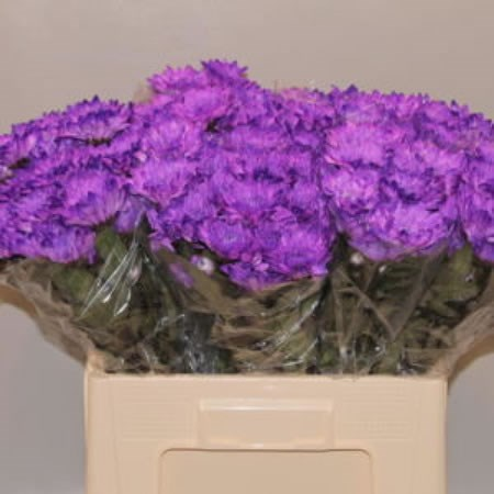 CHRYSANT BALTICA DYED PURPLE
