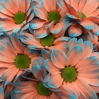 CHRYSANT KENNEDY BAZOOKA PINK-LIGHT BLUE