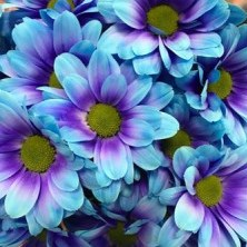 CHRYSANT KENNEDY BLUE LAGOON BLUE-PURPLE