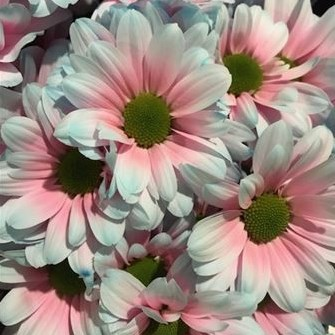 CHRYSANT KENNEDY BUBBLEGUM PINK-BLUE