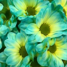 CHRYSANT KENNEDY DOUBLEMINT YELLOW-BLUE