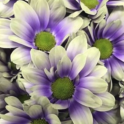 CHRYSANT KENNEDY FRESH PURPLE-YELLOW