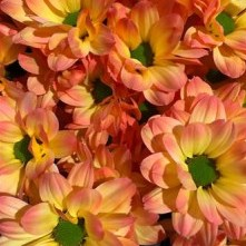 CHRYSANT KENNEDY MOONSHINE ORANGE-PINK