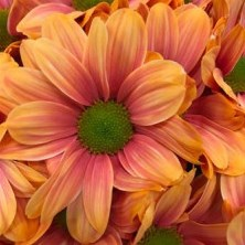 CHRYSANT KENNEDY ROMA PINK-ORANGE