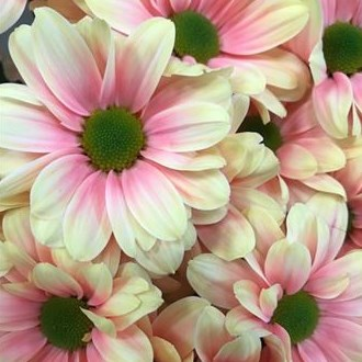 CHRYSANT KENNEDY SUNSHINE PINK-YELLOW