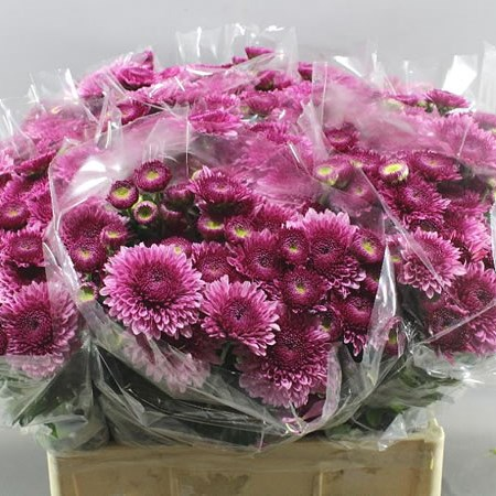 CHRYSANT LINDA (GROWN OUTSIDE)
