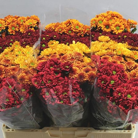 CHRYSANT SAN. AUTUMN MIX