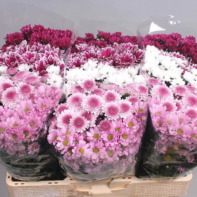 CHRYSANT SAN. SWEET MIX