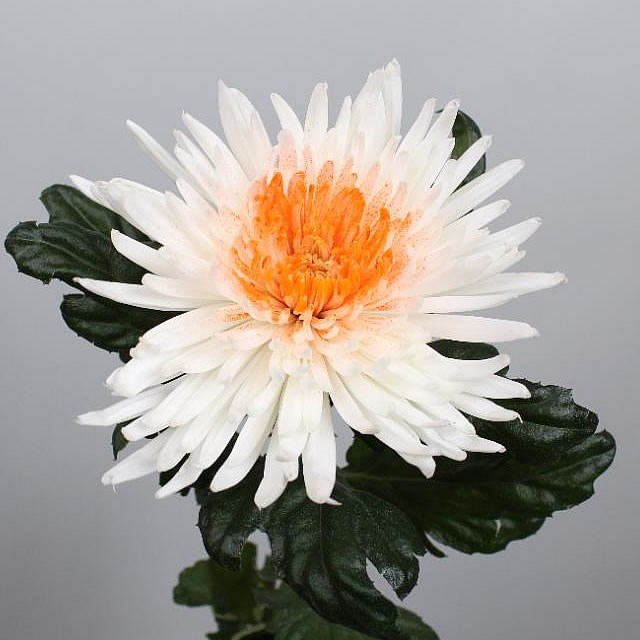 CHRYSANT SGL. ANASTASIA WHITE/ORANGE