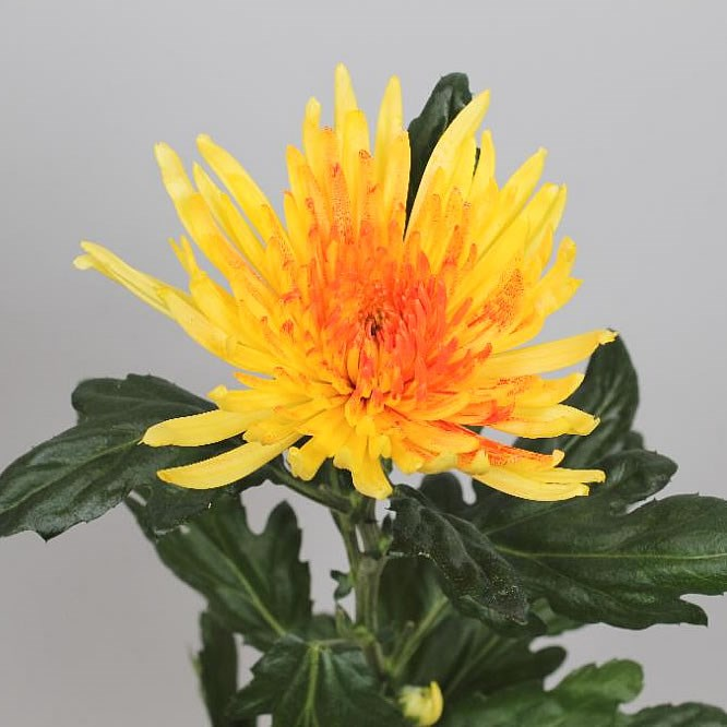 CHRYSANT SGL. ANASTASIA YELLOW/RED