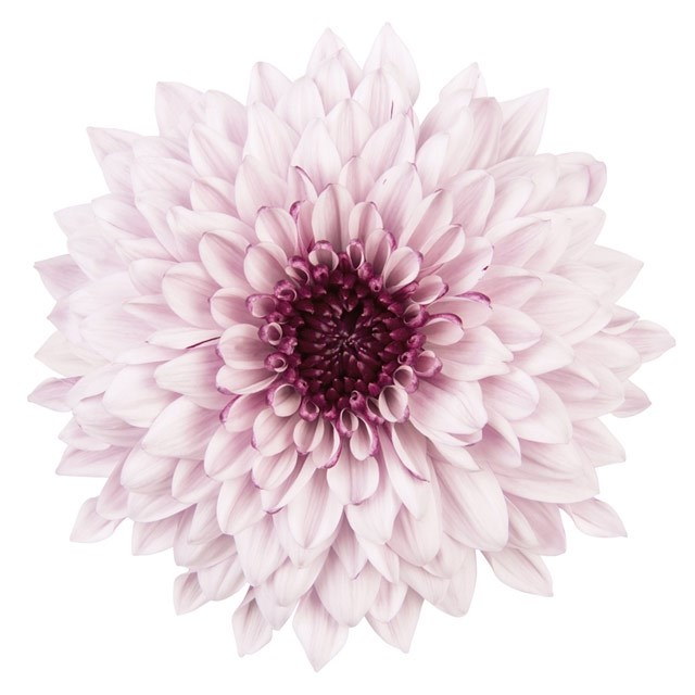 CHRYSANT SGL. PIP PRETTY