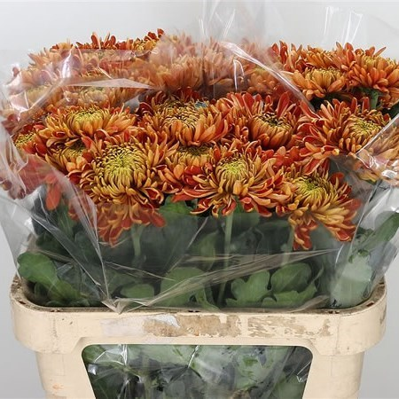 CHRYSANT SGL. PRINCESS ARMGARD RED