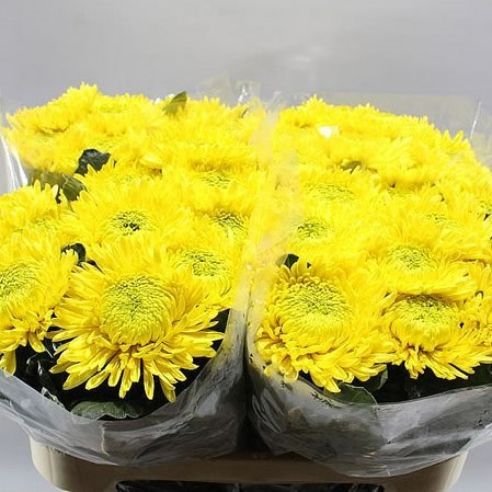 CHRYSANT SGL. PRINCESS ARMGARD YELLOW