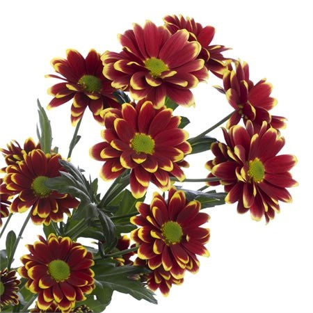 CHRYSANT SPR.  ALAMOS YELLOW