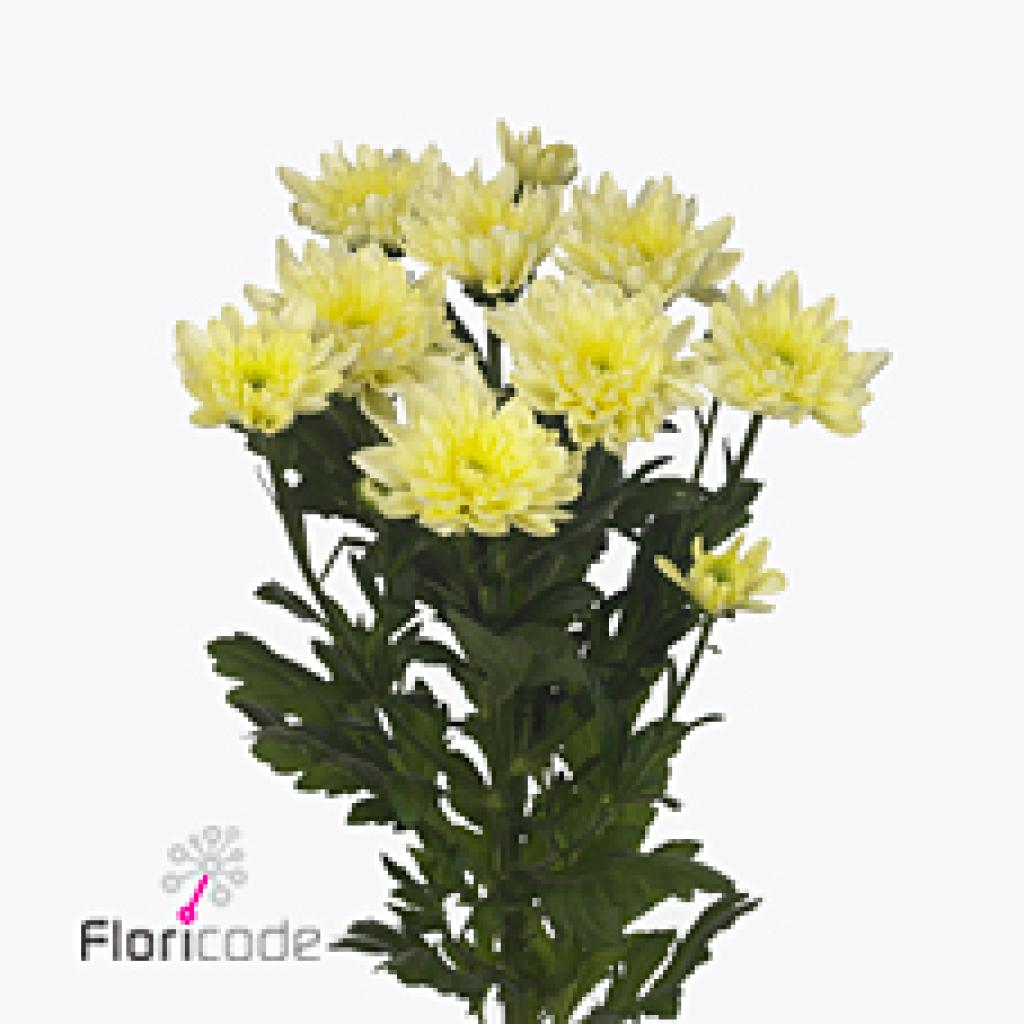 CHRYSANT SPR. BALTICA CREAM