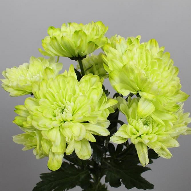 CHRYSANT SPR. BALTICA DYED GREEN