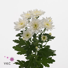 CHRYSANT SPR. BALTICA WHITE