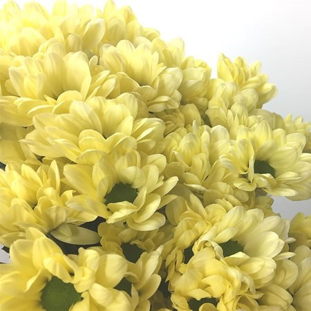 CHRYSANT SPR. CHIC CREAM